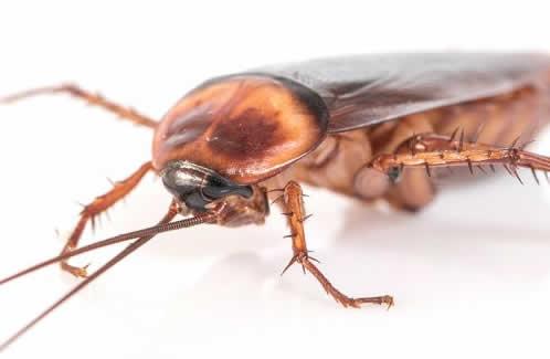 Αμερικάνικη κατσαρίδα