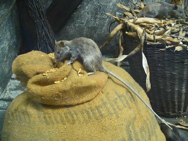 Ποντίκι Rattus rattus
