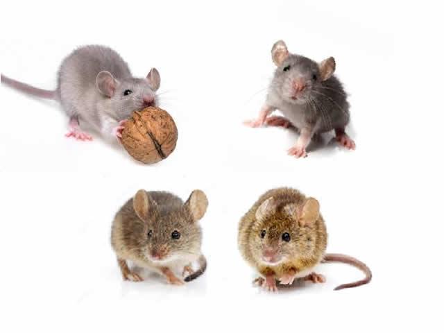 Ποντίκι mus musculus