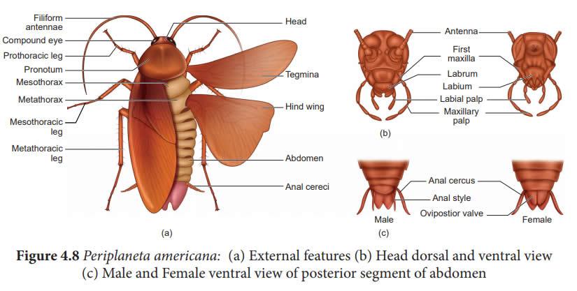 Μορφολογία αμερικάνικης κατσαρίδας